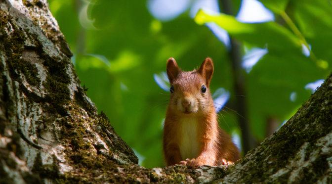 Die Kleinen Eichhörnchen
