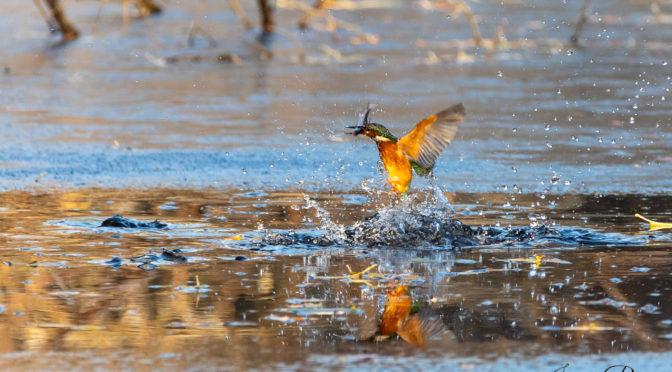 Wintereinbruch und Besuch beim Eisvogel